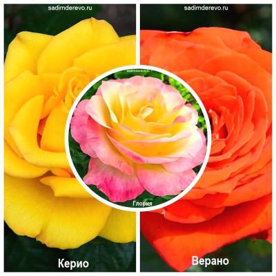 Роза - комплект из 3-х сортов: Роза Верано > Роза Глория > Роза Керио