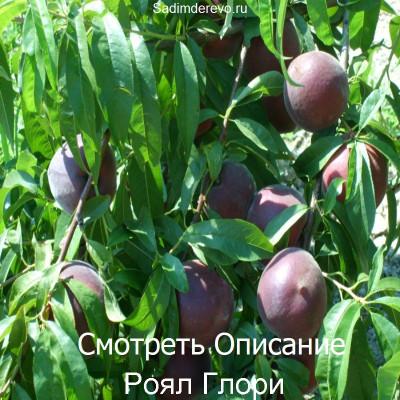 Персик Роял Глори