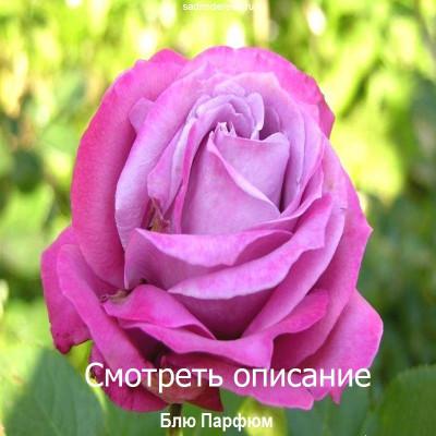 Роза Блю Парфюм