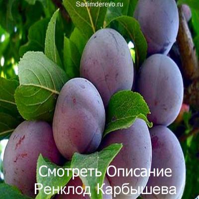 Слива Ренклод Карбышева