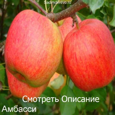 Яблоня Амбасси /Ambassy/